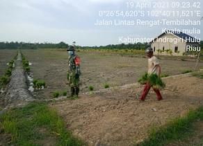 Wujud Kepedulian TNI, Babinsa Koramil 01/Rengat Kodim 0302/Inhu Dampingi dan Berikan Motivasi Kepada Petani Padi