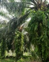 Di Duga Ribuan Hektar Lahan TNTN Inhu di Garap KUD Tani Bahagia