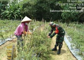 Beri Semangat dan Motivasi Petani, Babinsa Kodim 0302/Inhu Dampingi Petani Panen Cabe