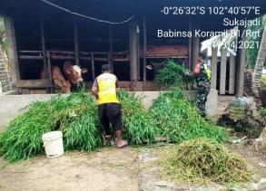Pendampingan Babinsa Kodim 0302/Inhu Terhadap Peternak Sapi