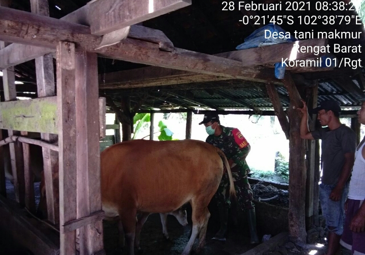Babinsa Kodim 0302/Inhu Dampingi Warga Peternak Sapi